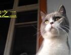唐山本地蓝猫 欢迎来家看猫选猫 英短蓝猫弟弟妹妹