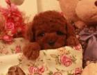 唯爱宠物出售纯种泰迪犬 贵宾泰迪幼犬 泰迪比熊小型犬狗狗