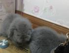 自家繁殖的垂耳兔