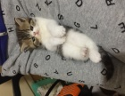 自家产纯种加菲猫