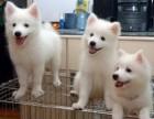 上门享受低价 纯种 银狐犬 不纯十倍赔偿签协议