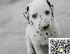 高品质斑点狗 专业基地 健康签协议 可送货上门