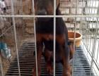 哪里有两到三个月的莱州红幼犬 成年莱州红借配出售