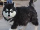 重庆本地出售阿拉斯加幼犬,品质健康有保障,签订协议
