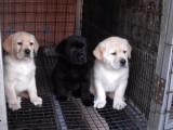 500起出售 拉布拉多导盲犬 各类纯种名犬 签协议