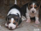 宁波哪里有卖纯种比格幼犬 宁波哪里可以买到好的比格