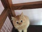 纯正英短猫宝宝找新家