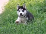 北京出售 纯种哈士奇幼犬 疫苗齐全出售中 可签协议健康保障