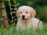 中山 金毛犬 品种齐全 多只挑选 送用品签协议