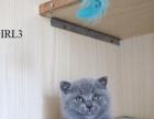 短毛猫 蓝白 正八五粉通脖 满十周后才可接走
