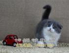 蓝猫高端宠物猫繁殖英短美短加菲布偶多窝出售