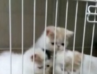 本地家养加菲猫咪,纯种健康,非宠物店,可以上门