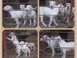 重庆出售纯种杜高犬 自家养殖的 当面测试交易 同城免费送狗