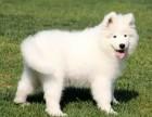 临沂哪里有犬舍卖萨摩耶 临沂萨摩耶怎么卖的 萨摩出售
