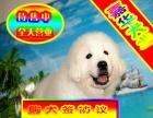买纯种大白熊犬保纯保健康-可签订质保协议
