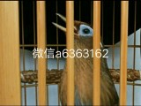 长期出售精品画眉鸟唱鸟半熟鸟生头鸟全国可以快递包邮