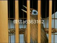 長期出售精品畫眉打唱生熟鳥鳥需要個大70克左右的可以聯系