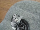 自家猫繁育的美国短毛猫(虎斑猫)