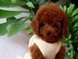 正品纯种深红玩具迷你贵宾宠物狗泰迪犬出售