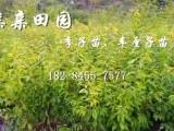 2018四川广安青脆李树苗批发真实价格青脆李苗李子种植技术