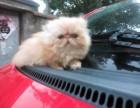 售后完善 质保无忧 出售纯种 波斯猫 可见父母 随时联系