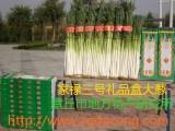 大葱种子 高产山东大葱种子家禄三号中华巨葱 章丘大葱种子