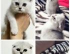 沈阳阿文宠物名猫舍---多只红白樊种公专业借配