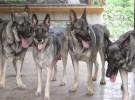 本场出售狼青犬 狼青幼犬 品质好 质量保证