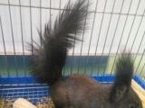 出售自家繁殖魔王松鼠