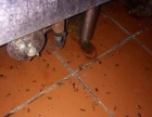 厦门灭蟑螂灭老鼠防治白蚁灭跳蚤除四害消毒哪家强?