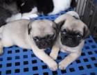 西安出售纯种健康 巴哥幼犬 当面签协议包健康