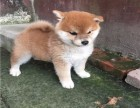 青岛哪里有卖柴犬 纯种日系柴犬价格 赤色柴犬好养 柴犬犬舍