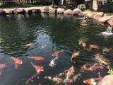 杭州锦鲤鱼养殖