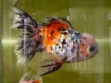 观赏鱼价格面议