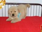专业繁殖金毛犬养殖基地 可以来犬舍里挑选