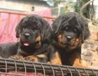 大型犬舍繁殖高品质罗威纳健康有保证欢迎上门