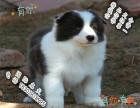 家养纯种边境牧羊犬便宜出售了 喜欢的可以加我详聊