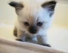 家养布偶猫小DD和MM找新家