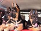 广州哪有黑背犬卖 广州黑背犬价格 广州黑背犬多少钱