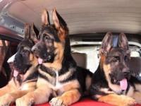 广州犬舍直销德牧泰迪哈士奇拉布拉多萨摩博美等名犬,批发价出售
