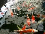 亚太锦鲤:嘉定锦鲤园锦鲤特卖红白昭和白写绯写白金
