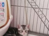 精品折耳起司猫出售 一针疫苗妙三多