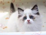 甘肃兰州纯种仙女猫一般多少钱一只