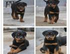 自己家养的双血统罗威纳犬 颜值高 忍痛出售