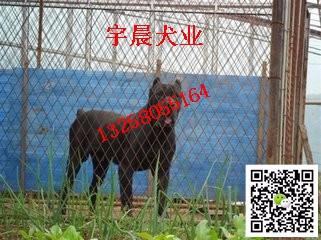 专业卡斯罗养殖犬舍 卡斯罗价格 卡斯罗犬多少钱