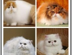 哪里有出售精品宠物波斯猫猫包纯种健康送货上门