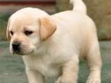 忠厚老实的小拉布拉多导盲犬幼犬 庭伴侣犬陪伴小孩