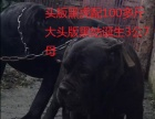 金刚儿子150斤黑虎配黑姑大头版小卡斯罗1公3母卖