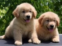 重庆哪里有买卖 金毛犬幼犬 出售哈士奇犬 活体博美 终身质保