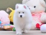 超可愛微笑天使薩摩耶開始熱賣.毛量很好毛色雪白